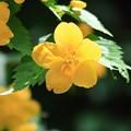 Photos: 黄色い花が