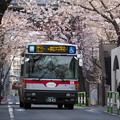 Photos: 都立01系統と桜並木(その3)