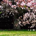 Photo: 落桜