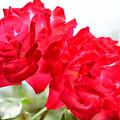 Photos: 薔薇の名は聖火