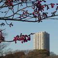 Photos: 寒緋桜0228_964kanhisakura