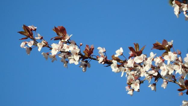 赤羽桜005