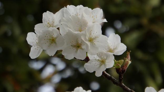 大島桜のアップ272s