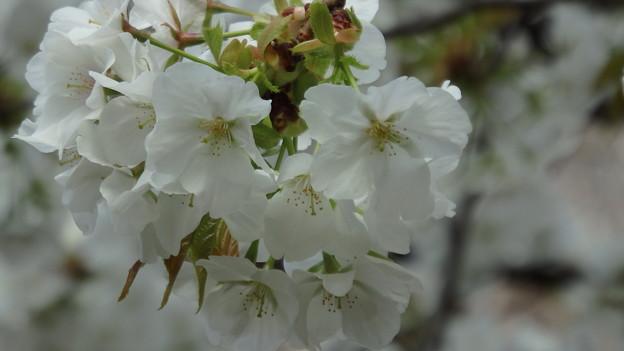 大島桜のアップ283s