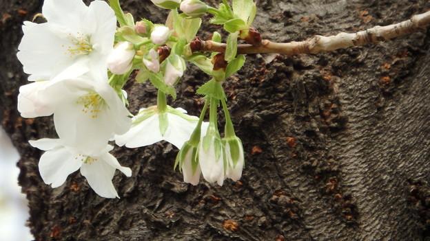大島桜のアップ1300s