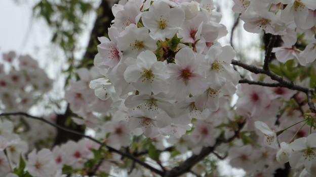 大島桜のアップ396s
