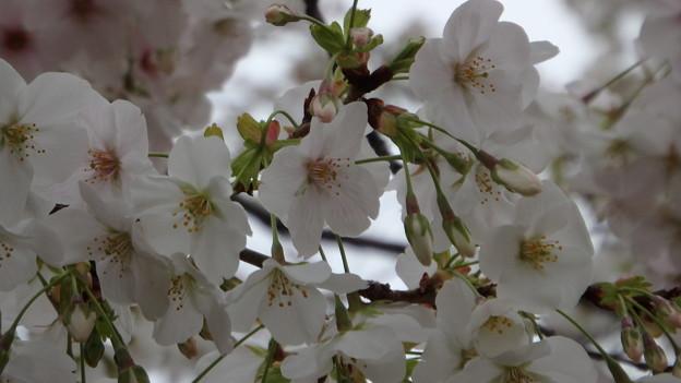 山桜1452s