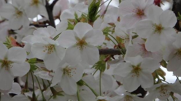 山桜1443