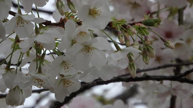 山桜1449s