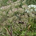 キアゲハの幼虫518