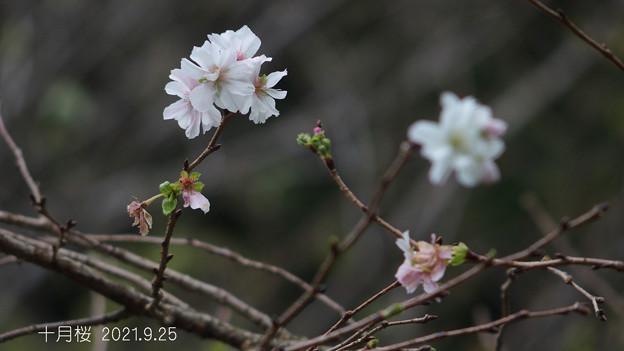 十月桜_807jyuugatusakura