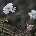 Photos: 十月桜_807jyuugatusakura