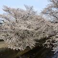 Photos: 20210327桜05