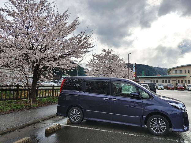 道の駅にて桜と愛車トヨタノア80系