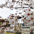 桜 in 道の駅 来夢とごうち