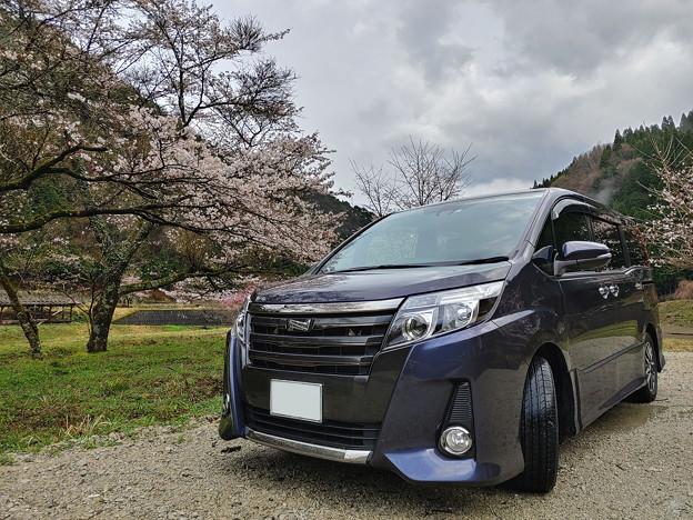 桜と愛車トヨタノア80系