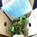 """5.30_10:00am""""おめでとうございます。カゴメトマトの苗(4つ)厳正なる抽選の結果、ご当選されました。すぐに箱から出し日光に当ててたっぷりと水を与えて~また1週間以内に植え替え楽しく収穫の喜び"""