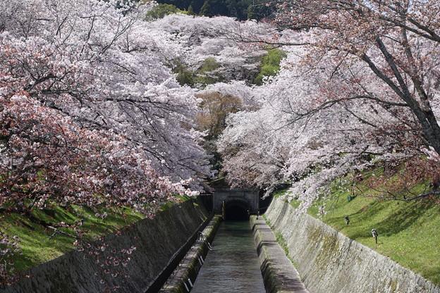 琵琶湖疎水と桜