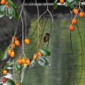 柿の実とカワセミさん!