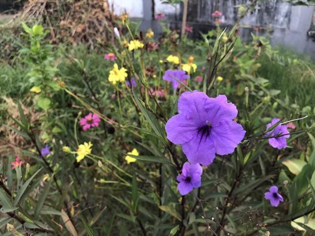 ミャンマーの花 (1)