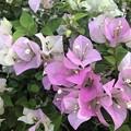 Photos: ミャンマーの花 (3)