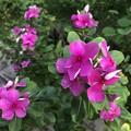 Photos: ミャンマーの花 (4)