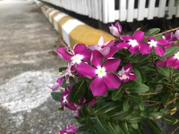ミャンマーの花 (5)