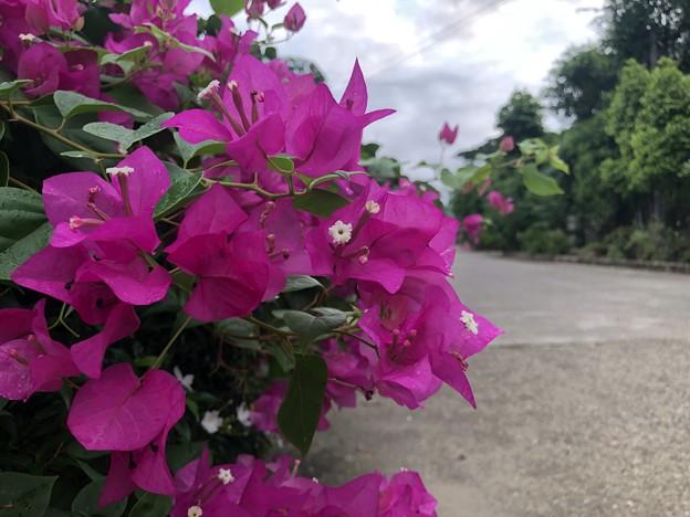 ミャンマーの花 5月30日 (5)
