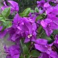 ミャンマーの花 5月30日 (1)
