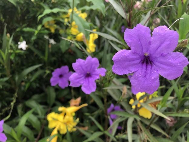 ミャンマーの花 5月30日 (3)