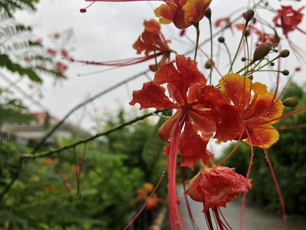 ミャンマーの花 7月3日 (8)