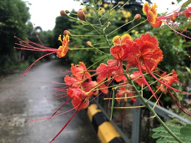 ミャンマーの花 7月3日 (7)