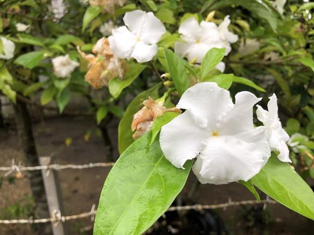 ミャンマーの花 7月3日 (6)