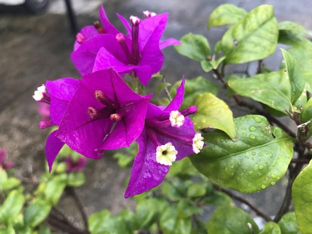 ミャンマーの花 7月3日 (5)