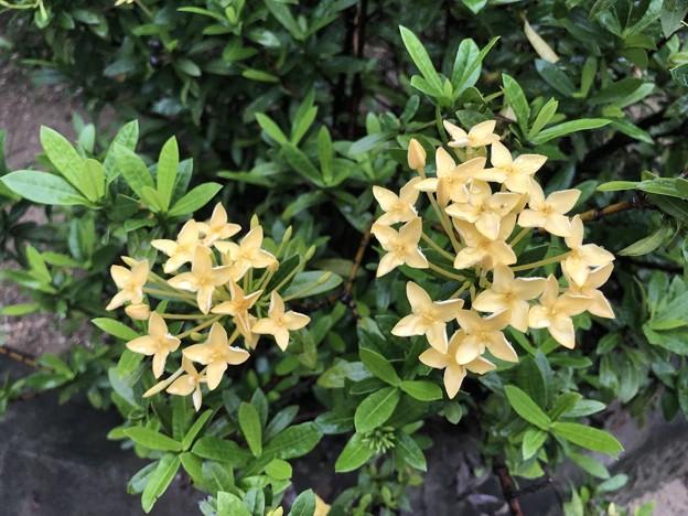 ミャンマーの花 7月3日 (2)