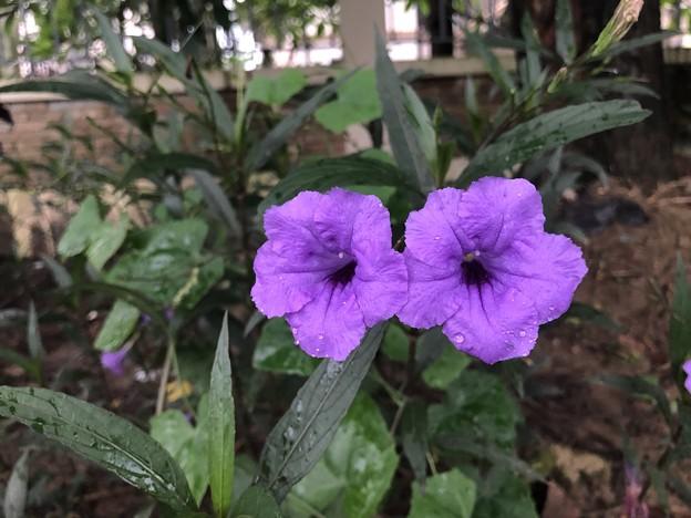 ミャンマーの花 7月3日 (1)