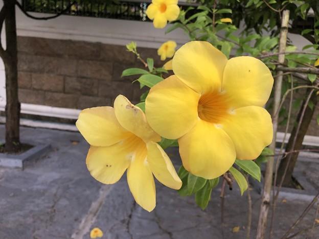 ミャンマーの花 (2)