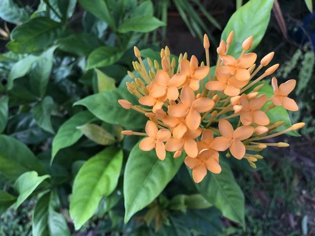 ミャンマーの花 (4)