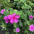 Photos: ミャンマーの花 (5)