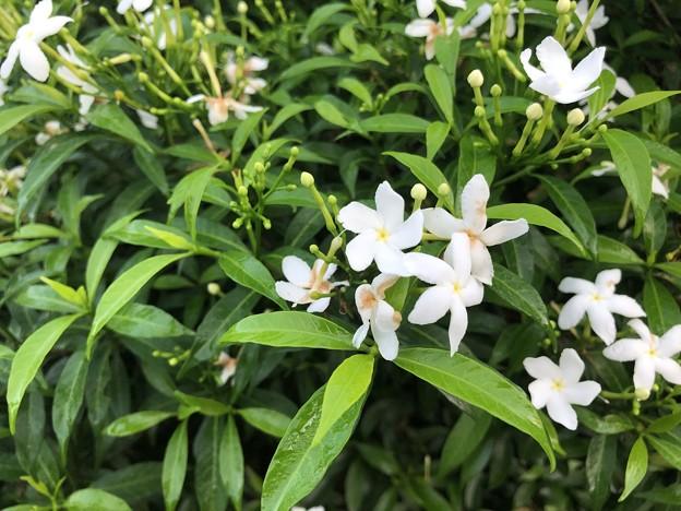 10月24日のヤンゴンの花 (3)