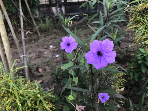10月24日のヤンゴンの花 (2)