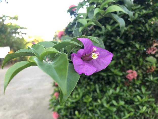 10月24日のヤンゴンの花 (8)