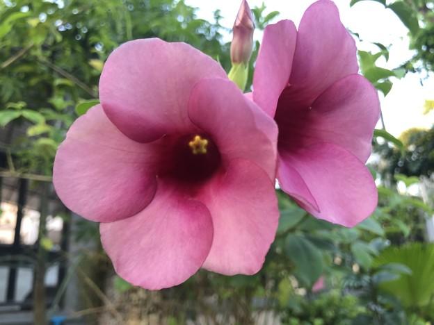 10月24日のヤンゴンの花 (7)