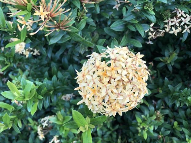 10月24日のヤンゴンの花 (4)