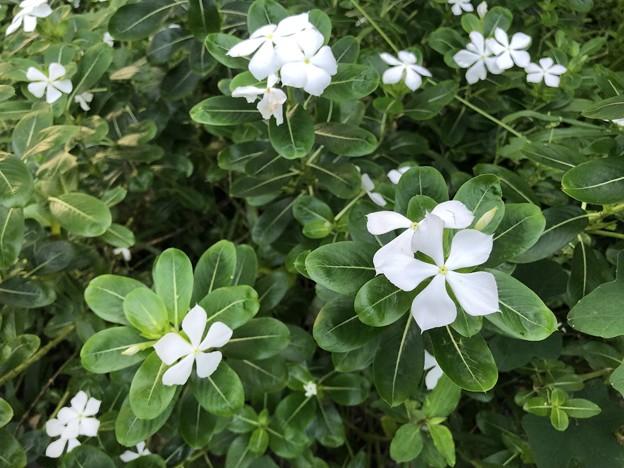 10月24日のヤンゴンの花 (1)
