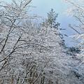 Photos: 春雪花