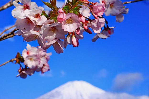 御殿場桜と富士