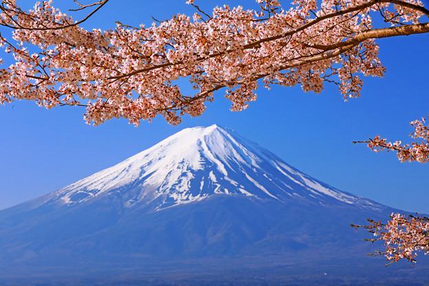 桜から仰ぐ