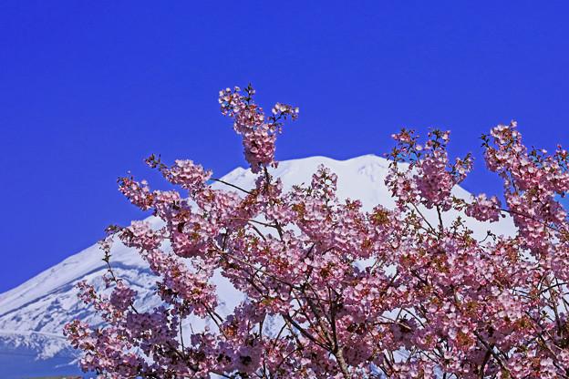 ごてんば桜満開