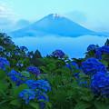 Photos: 紫陽花の朝
